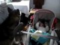 Cão uiva para embalar bebé