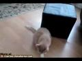 Gato come com as patas